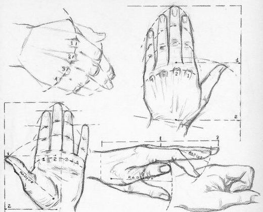 Proportions of the hand by Andrew Loomis.